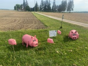 Pigs on the Lawn - Huron Perth